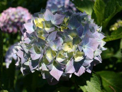 Florescere - Hydrangea