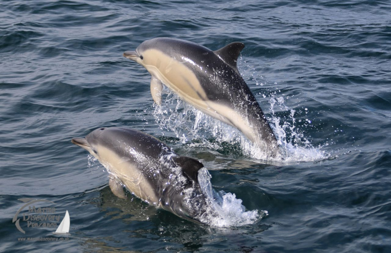 Dolphins jumping the sea around Penzance
